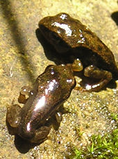 Froglets emerging from the pond, June 2004