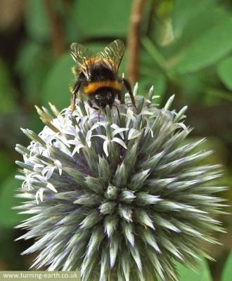 bee-on-globe-thistle-250713.jpg
