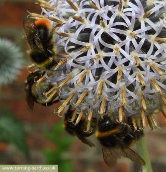 four-bees-on-globe-thistle-250713.jpg