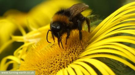 inula-bee-250713.jpg