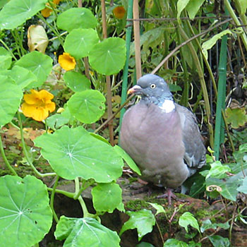 Wood pigeon amongst garden plants