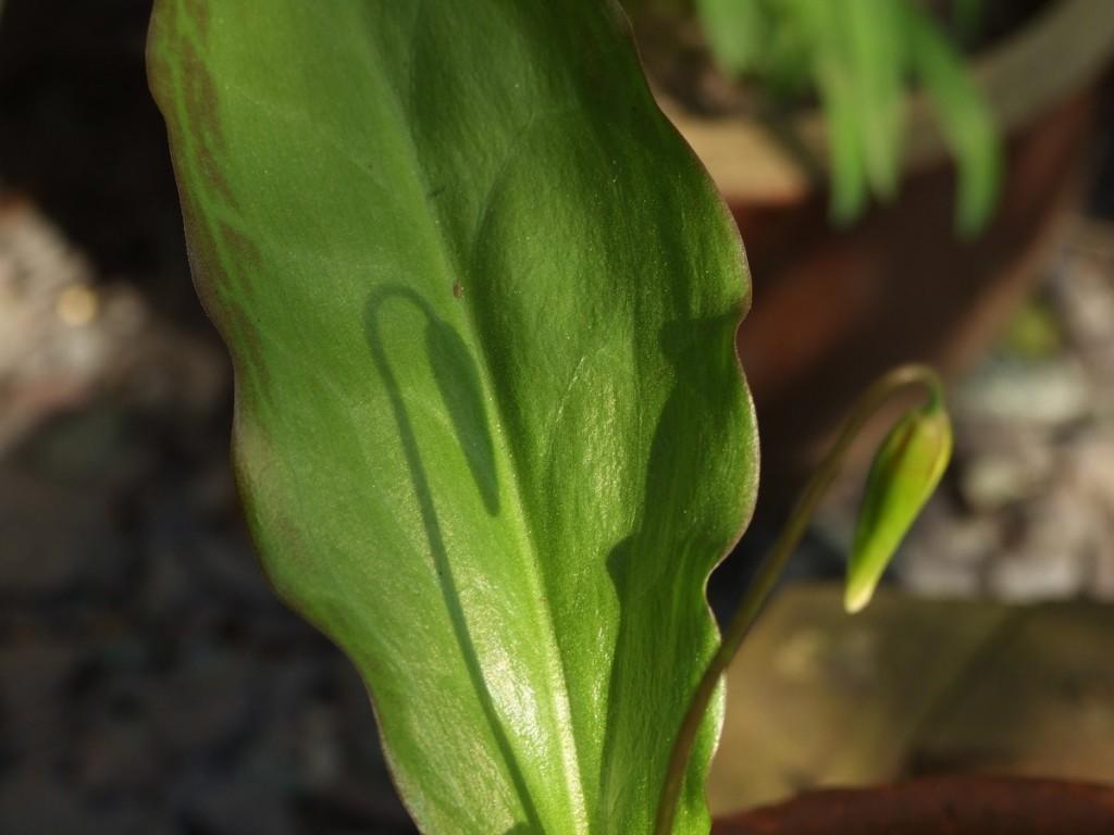 Shadow of flower bud on leaf