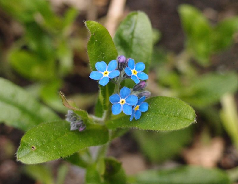 Forget-me-not, 23 March 2016