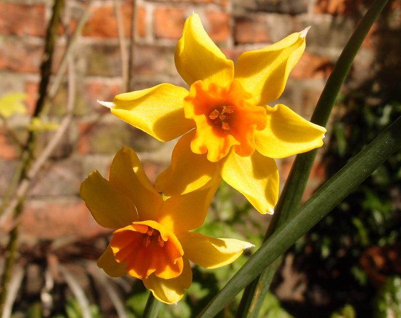 Narcissi, 25 March 2016