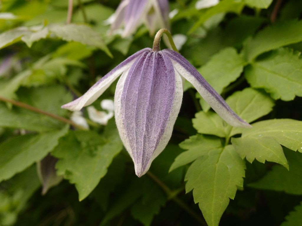 Clematis 'Blue Eclipse', 17 May 2016