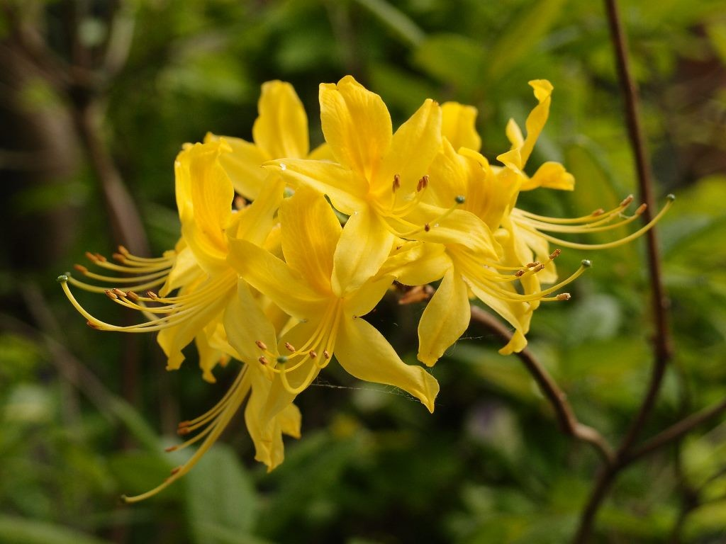 Rhododendron luteum, 17 May 2016