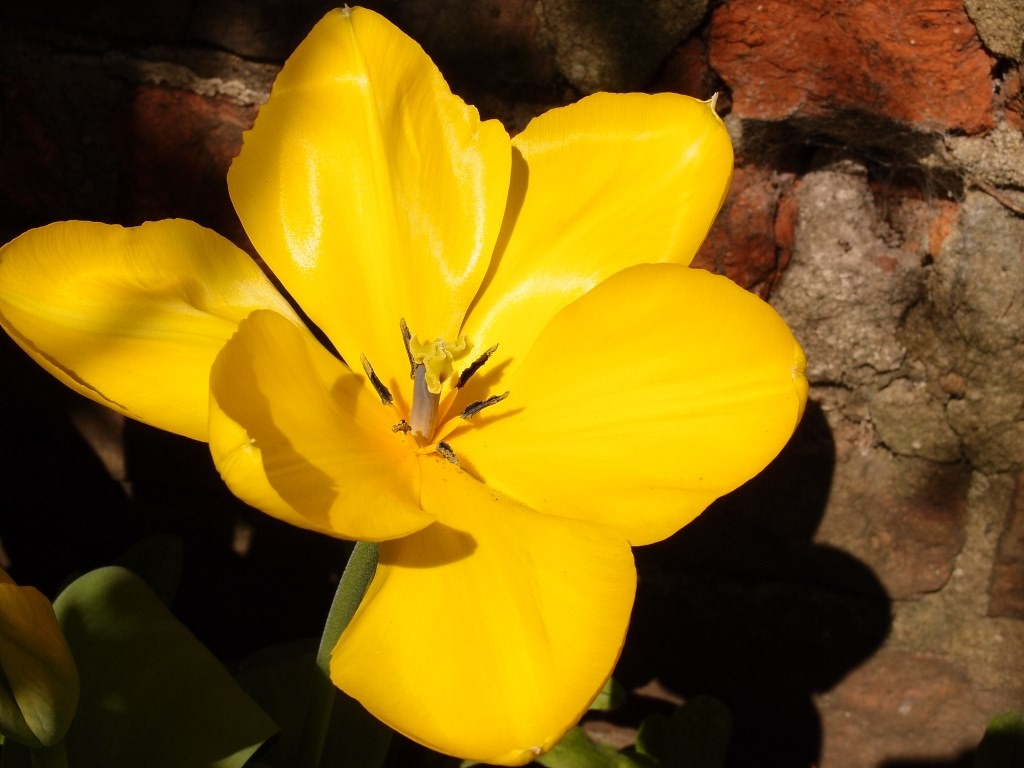 Tulip 'Yellow Emperor', 20 April 2016