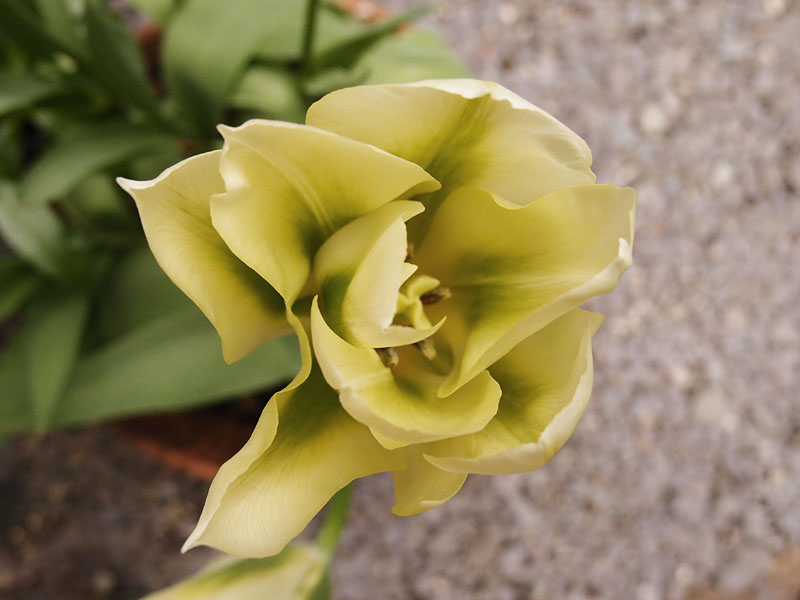 Tulip 'Formosa', 21 April 2017